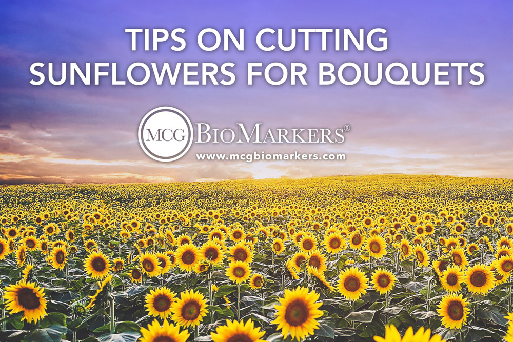 tips-on-cutting-sunflowers-for-bouquets-1.jpg