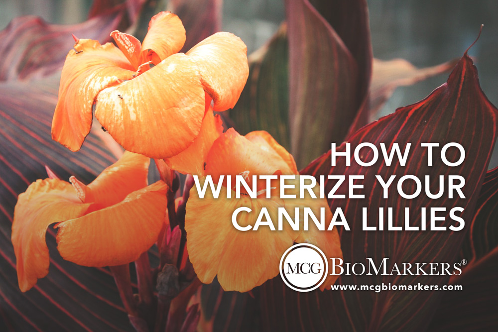 how-to-winterize-your-canna-lillies-1