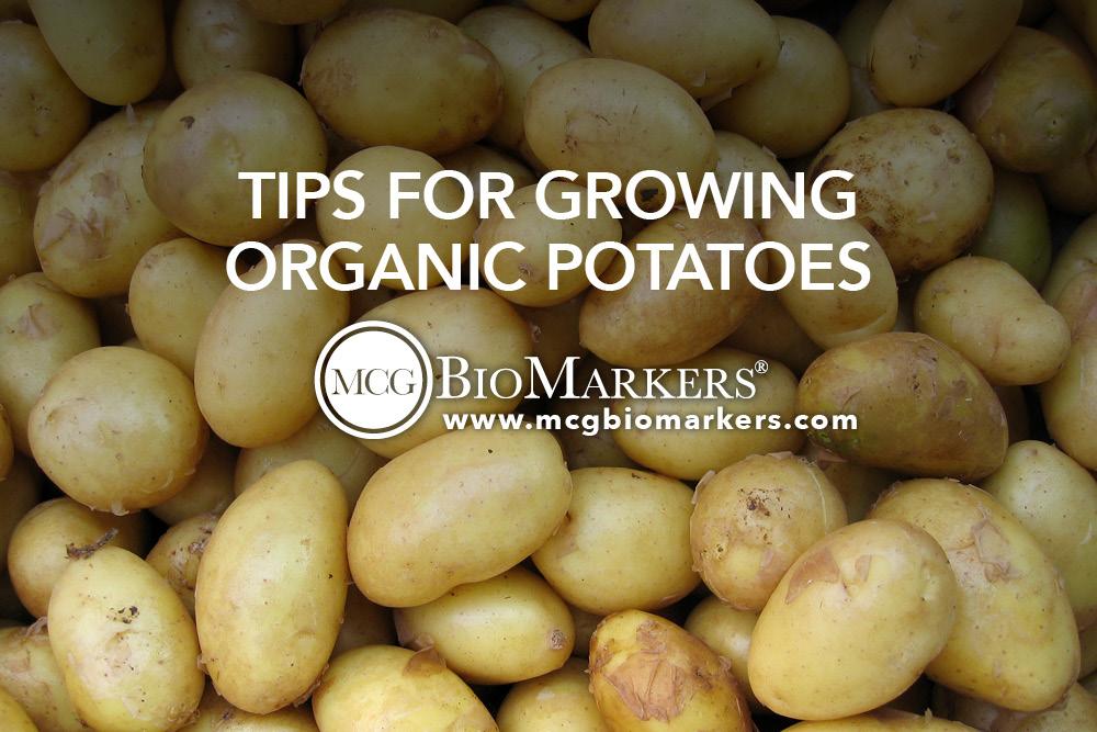 Tips for Growing Organic Potatoes